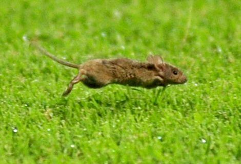 فأر يقتحم أرضية محمد الخامس أثناء مباراة الرجاء والإسبانيول